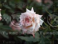 Pink Rose 2.jpg