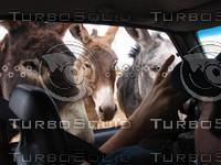 Wild_Donkey_Attack.JPG