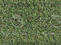 Boxwood hedge texture - tileable
