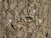 bark_pine_01.psd
