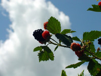 Cloudberries.JPG