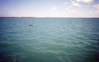 Dolphinswim.jpg
