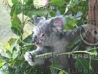 Koala_Bear_10.jpg