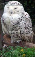 THE WHITE OWL TS.jpg