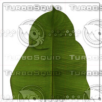 BANANA PALM LEAF 03