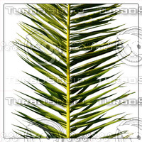 COCOS PALM LEAF 03