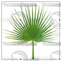 LIVISTONA PALM LEAF 02