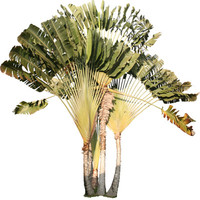 Traveler's Palm, Ravenala madagascariensis