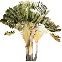 Traveler's Palm, Ravenala madagascariensis