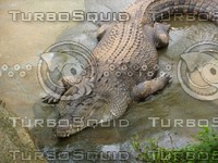 Crocodile_3.jpg