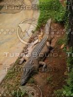 Crocodile_5.jpg