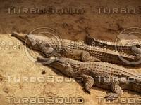 Crocodile_8.jpg