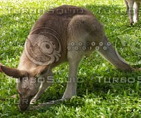 Kangaroo_15.jpg