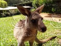 Kangaroo_7.jpg