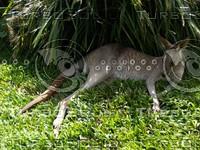 Kangaroo_9.jpg