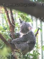 Koala_Bear_12.jpg