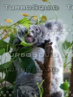 Koala_Bear_17.jpg