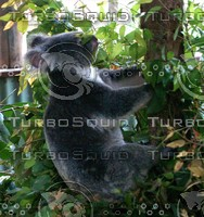 Koala_Bear_2.jpg