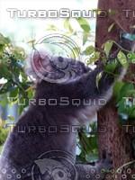 Koala_Bear_4.jpg