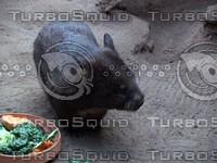 Pig_Rat_2.jpg