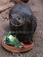Pig_Rat_9.jpg