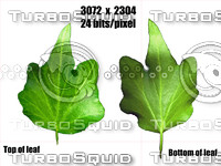 Ivy leaf (3072x2304)