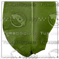 BANANA PALM LEAF 04