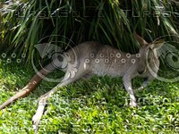 Kangaroo_8.jpg