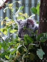Koala_Bear_3.jpg