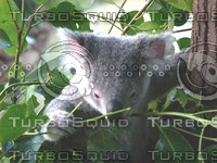 Koala_Bear_5.jpg