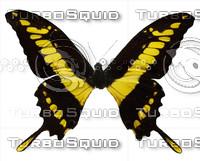 Butterfly Papilio Guiras Peru