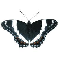 SPV_Butterfly001