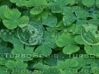 clover photo