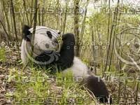 panda 13.jpg