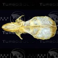 dorsal_skull004.jpg