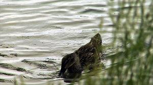 Duck Grass