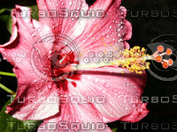 Pink Hibiscus and rain drops.jpg