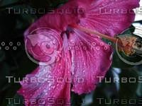 Pink Hibiscus closeup.jpg