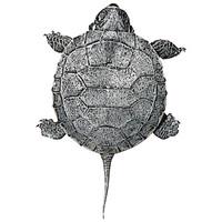 SPV_Turtle002