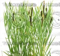 Typha latifolia