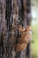 Photo Cicada