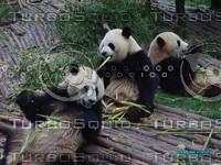 panda 16.jpg