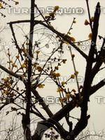 Plum Blossom  Tree 20090120 040