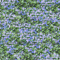 Aubrieta and violet seamless pattern