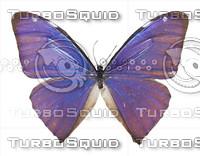 Butterfly Morpho Aega.rar