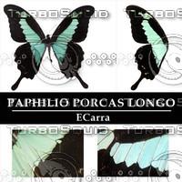 Butterfly Paphilio phorcas Longo
