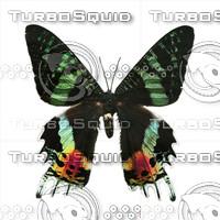 Butterfly Urania ripheus Madagascar.psd