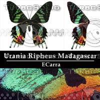 Butterfly Urania Ripheus Madagascar