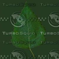 leaf  poplar