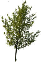 tree51
